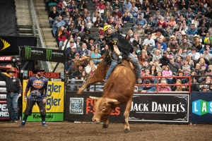 Silvano Alves attempts to ride Chad Berger/Clay Struve/Jonathan Fine's Beaver Creek Beau during the championship round of the Kansas City Built Ford Tough series PBR. Photo by Andy Watson